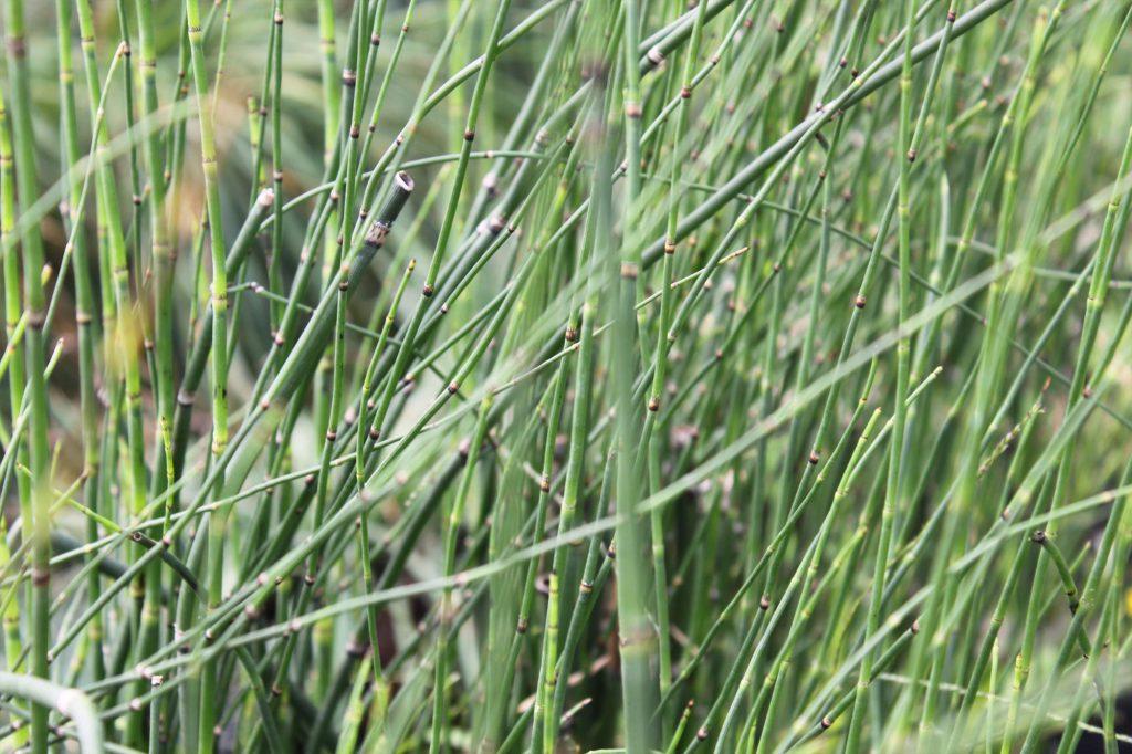 Grass Equisetum Hyemale