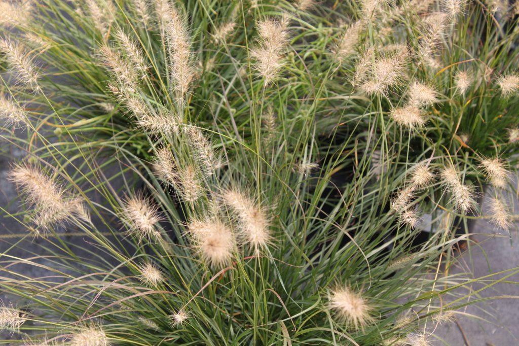 Grass Fountain Grass Little Bunny