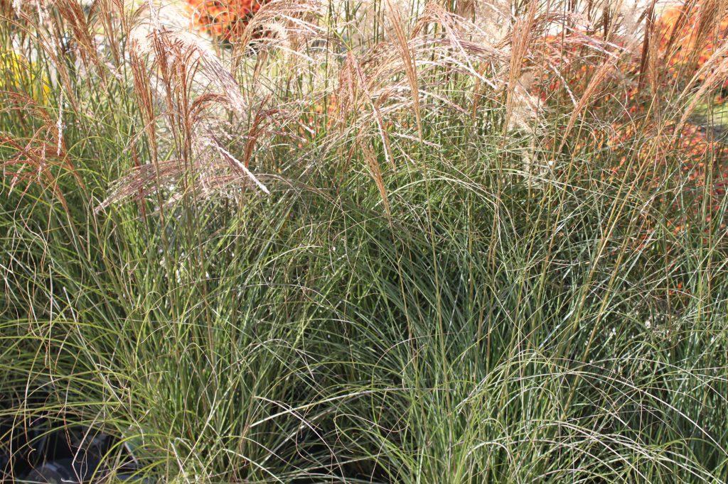 Grass Gracillimus Miscanthus