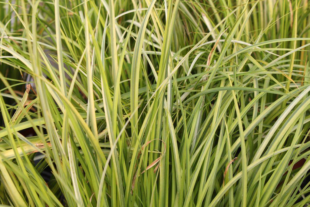 Grass Ogon