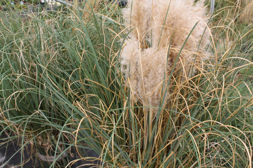 Grass Pampas Grass Ivory Feathers