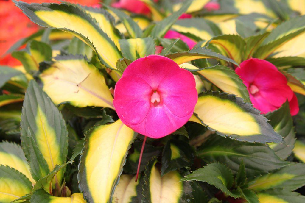 Impatiens Sunpatiens Tropical Rose