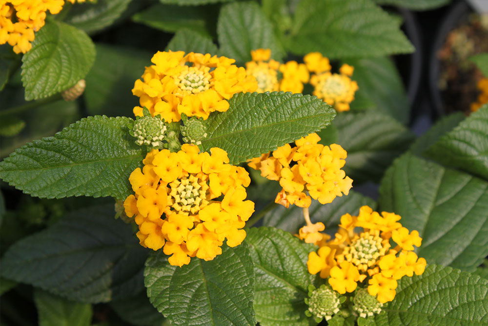 Lantana Pot Of Gold