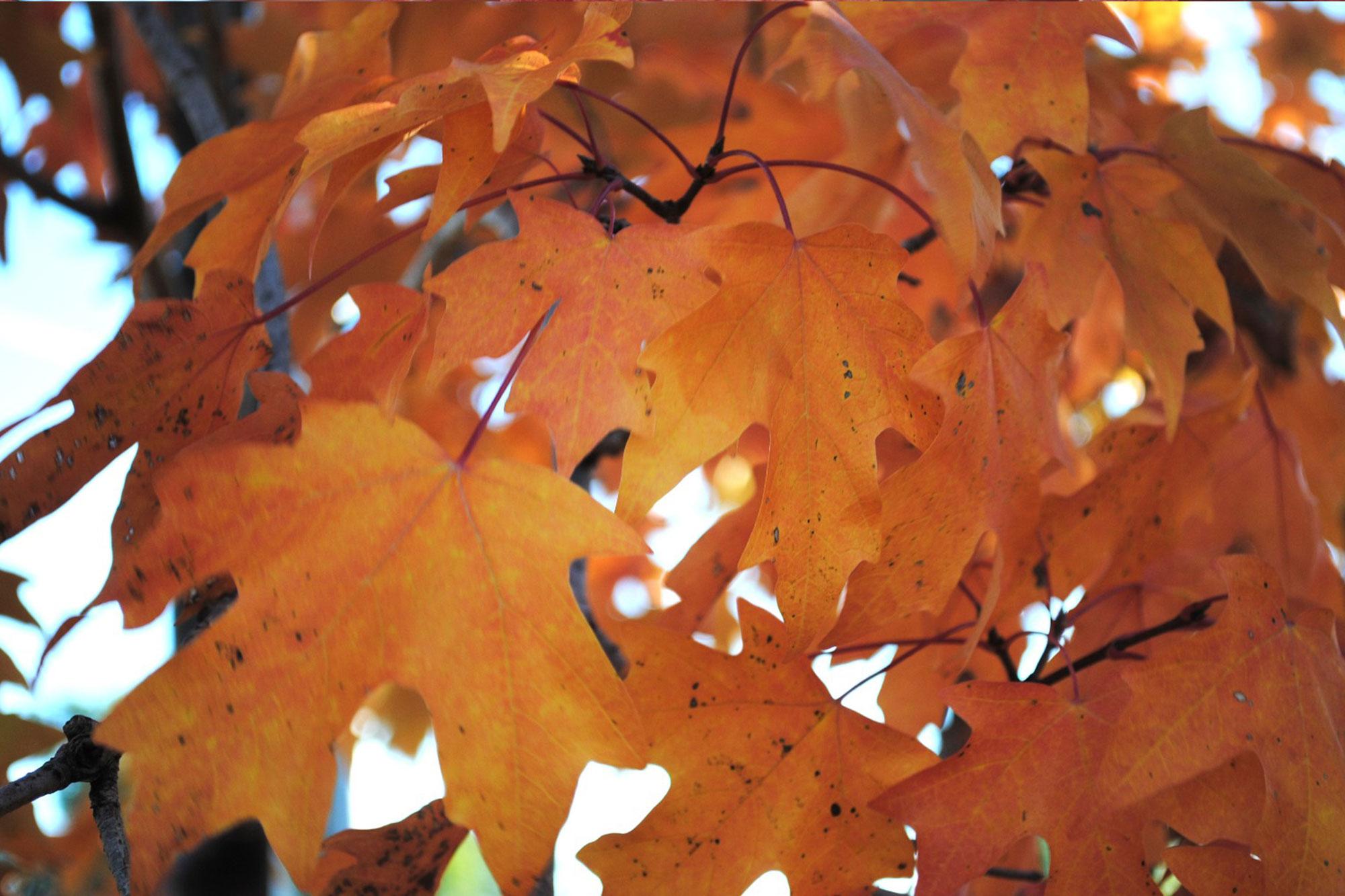 Maple Sugar Maple