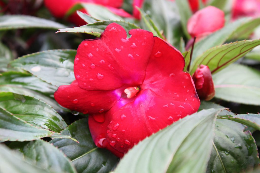 New Guinea Impatiens Sonic Deep Red