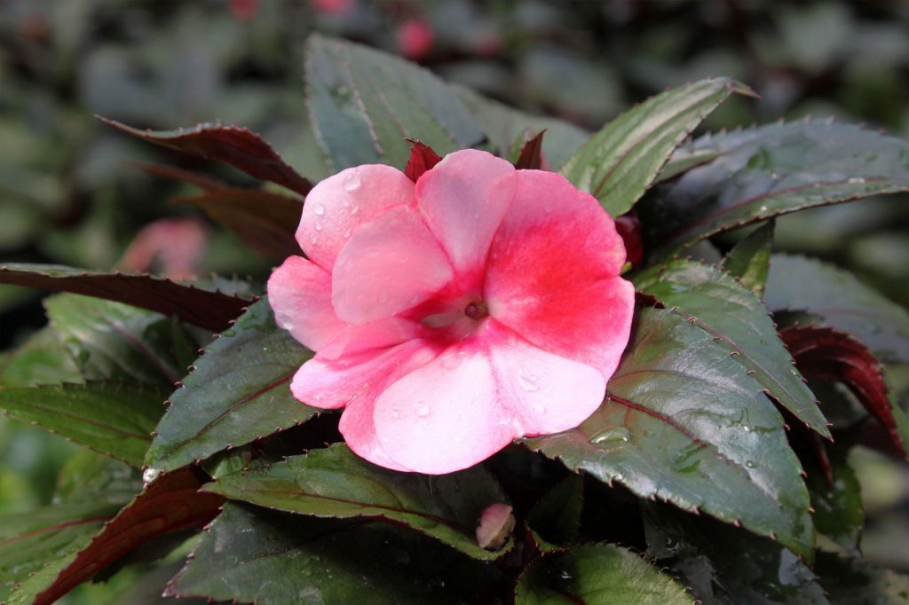 New Guinea Impatiens Sonic Sweet Cherry
