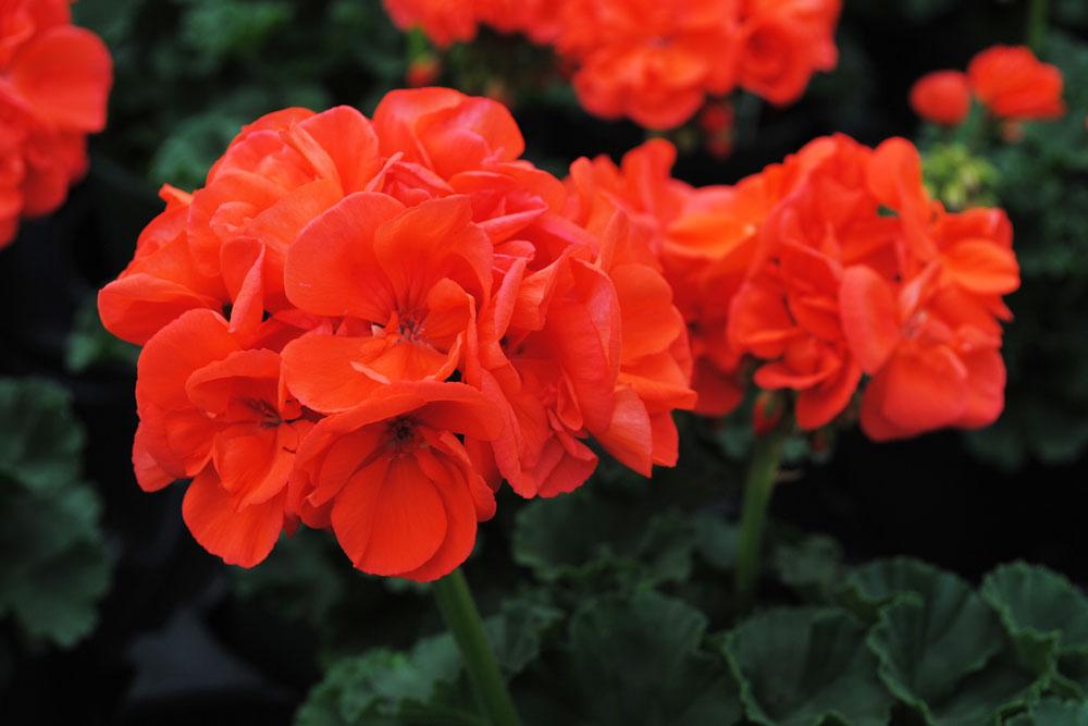 Westwood Gardens Grown Orange Geranium