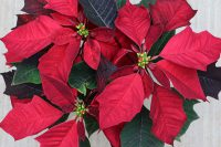 Poinsettia Burgundy