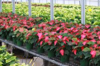 Early Growth Poinsettias