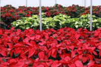 Westwood Gardens Grown Poinsettias