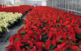 Westwood Gardens Grown Red And White Poinsettias