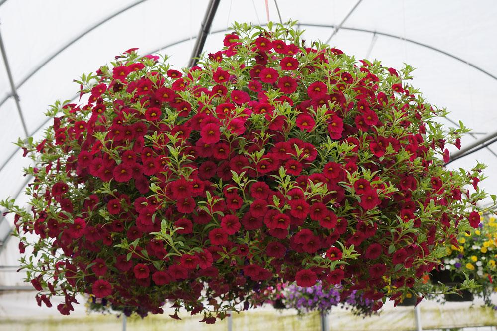 Red Calibrachoa Hanging Basket
