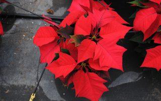 Westwood Gardens Grown Red Poinsettias