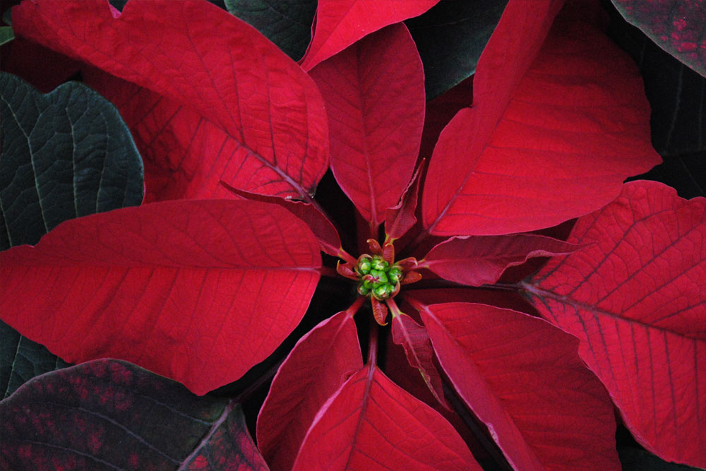 Westwood Gardens Grown Red Poinsettia Leaves