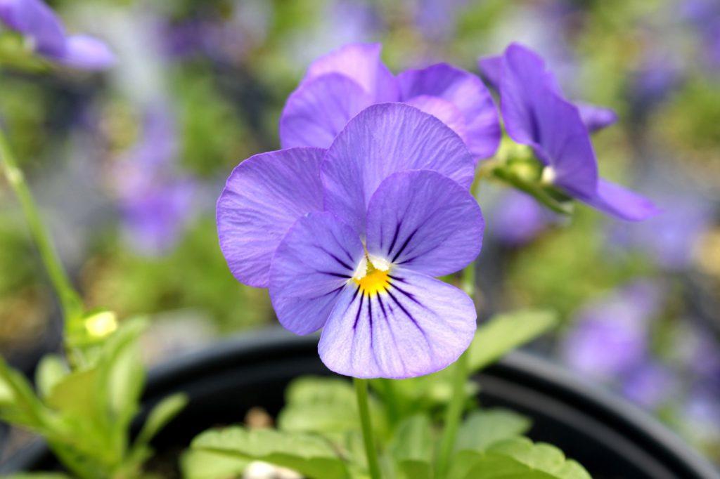 Viola Penny Blue