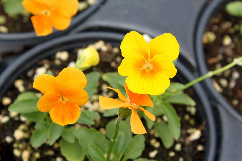 Viola Penny Orange