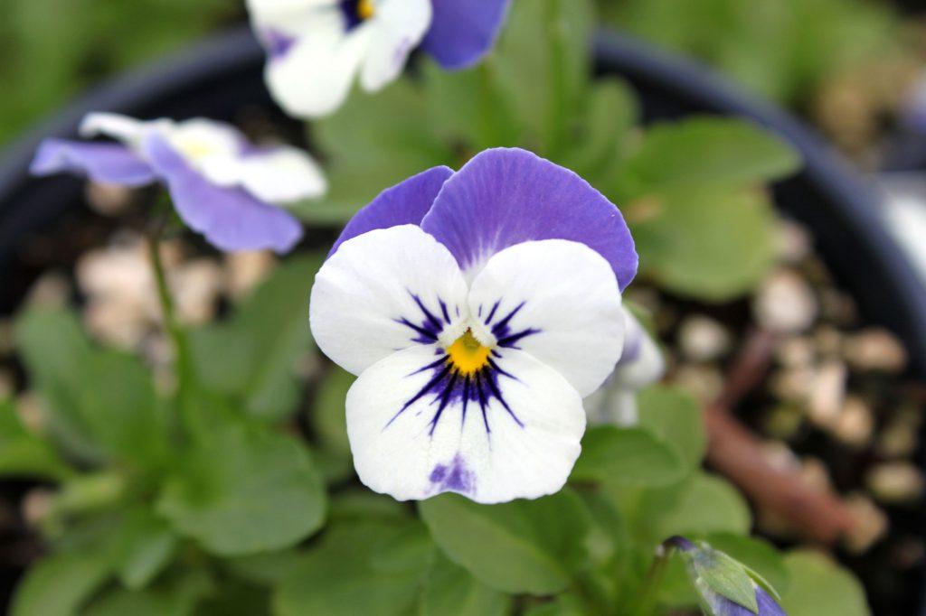 Viola Sorbet Delft Blue