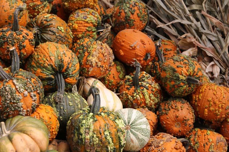 Knuckle Head Pumpkins