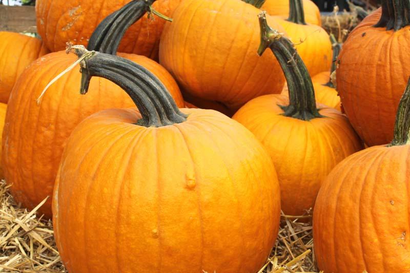 Regular Jack Pumpkins