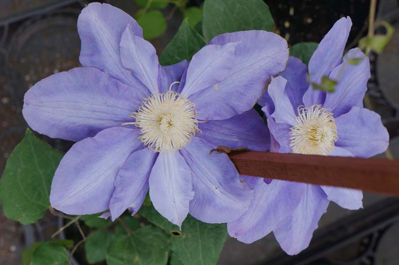Clematis Vyvyn Pennell