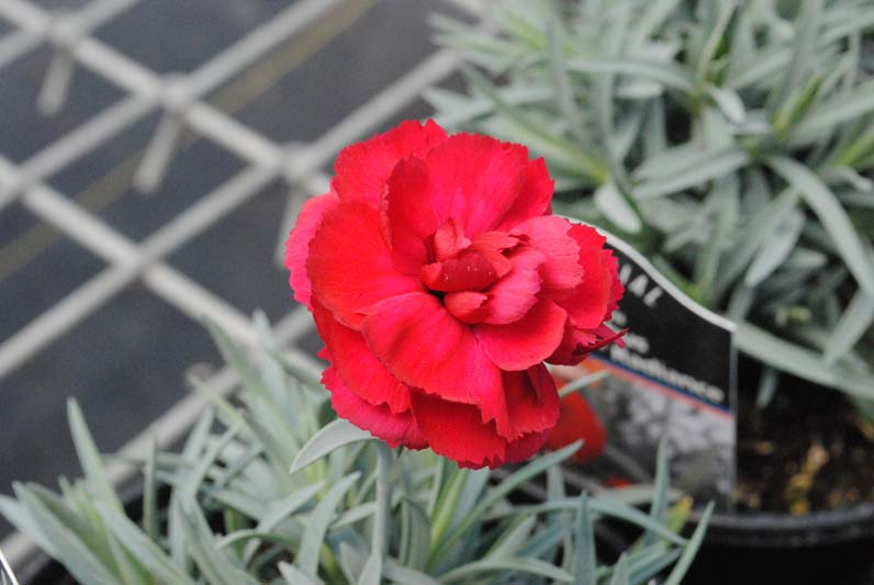 Dianthus Early Bird Radiance