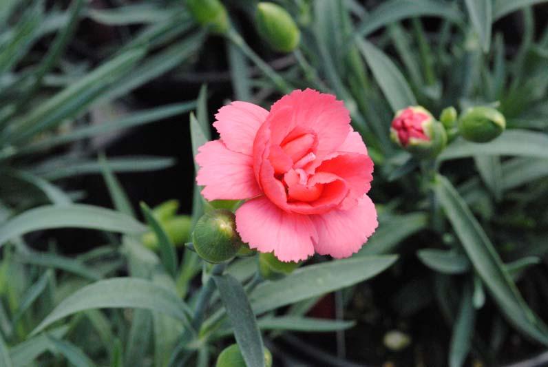 Dianthus Rosebud