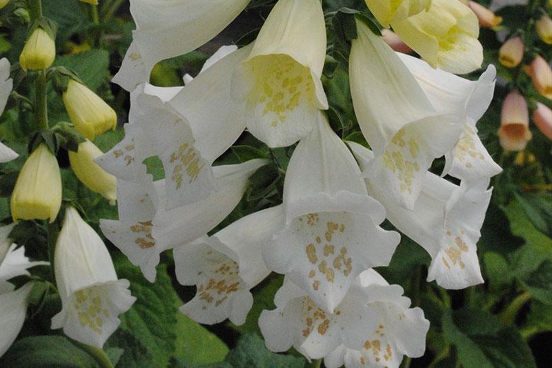 Foxglove Camelot White