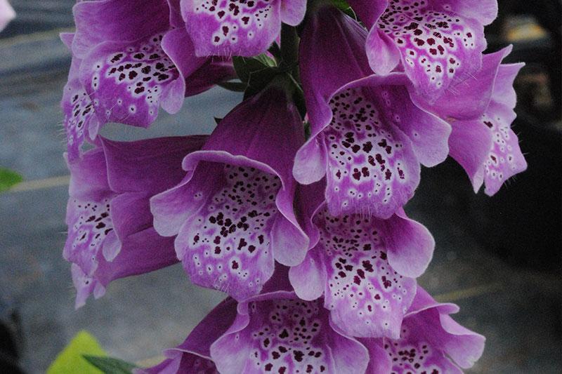 Foxglove Dalmatian Purple