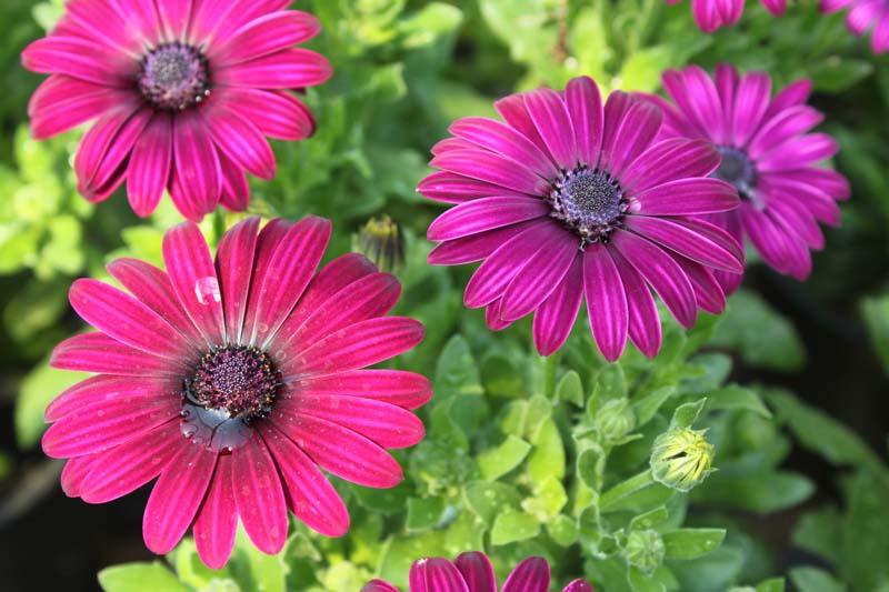 African Daisy Dark Purple