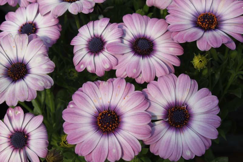 African Daisy Lavender Plus Purple Eye