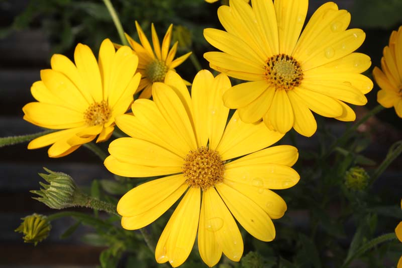 African Daisy Pure Yellow