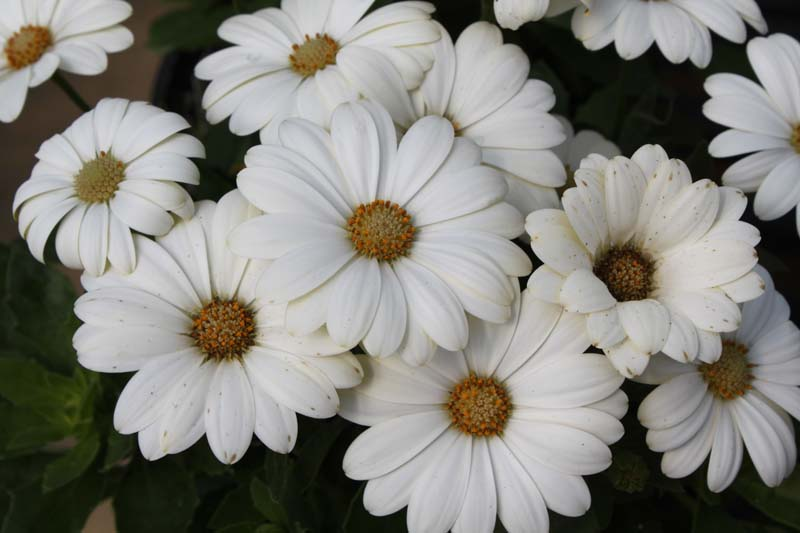 African Daisy White