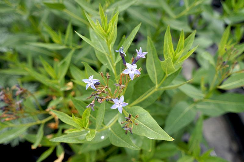 Amsonia Blue Star
