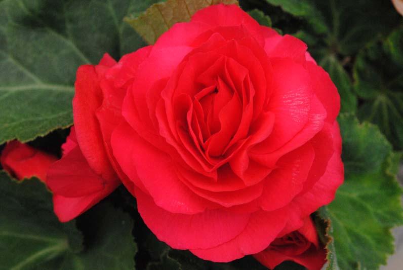 Begonia Deep Rose