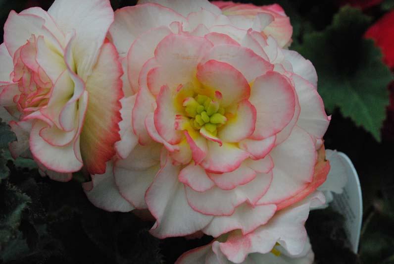 Begonia Rose Petticoat