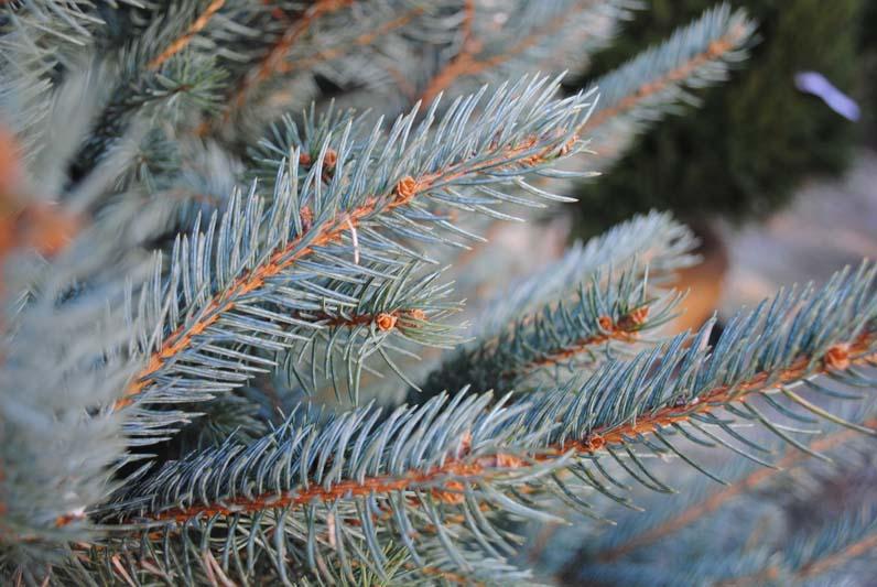 Blue Spruce Macro