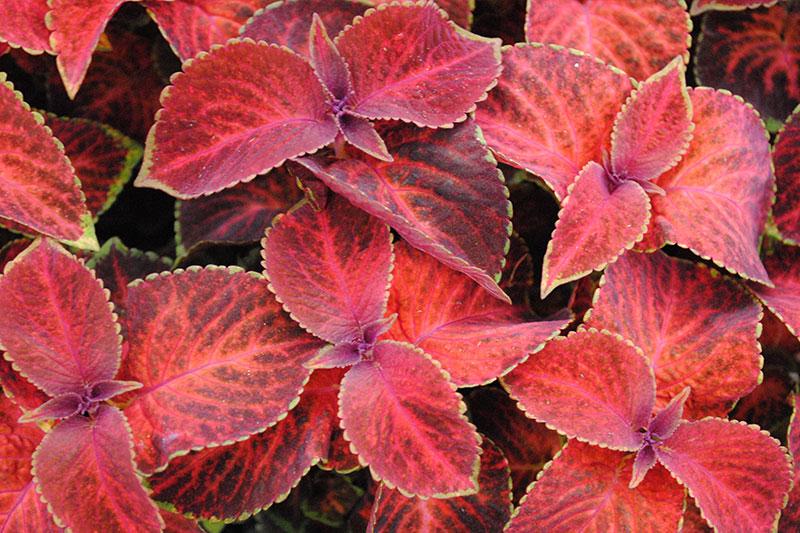Coleus Velvet Red