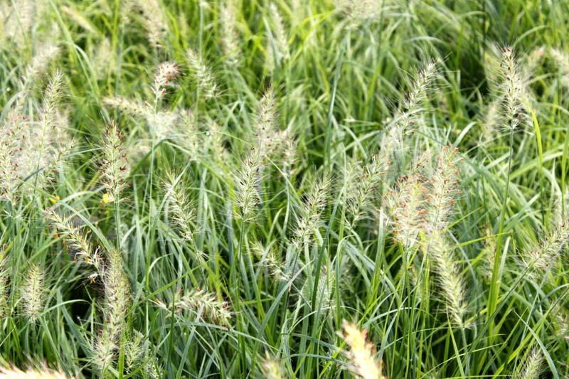 Grass Fountain Hamein