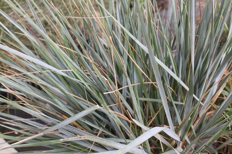 Grass Giant Rye Canyon Prince