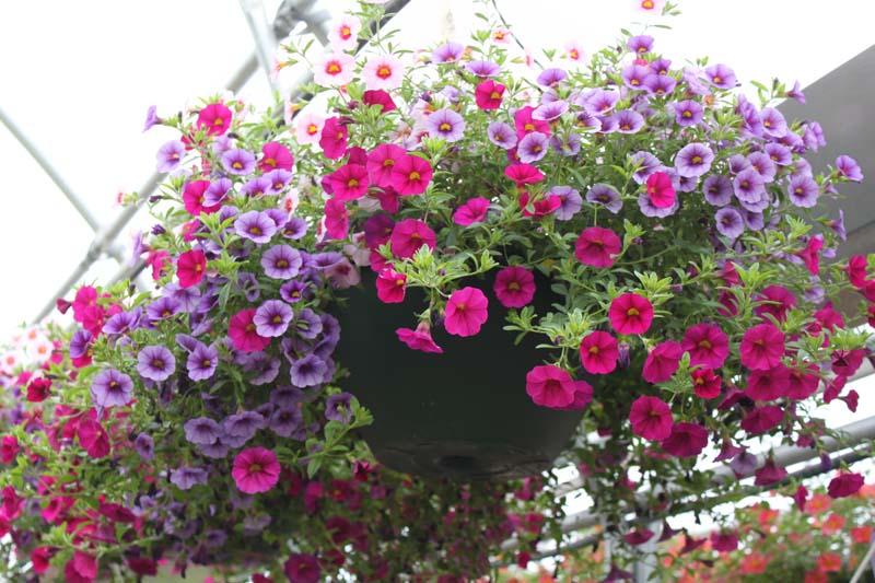 Hanging Basket Petunia Mix