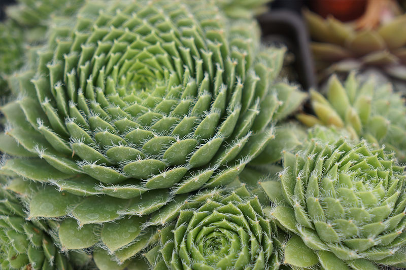 Hens and Chicks Succulent