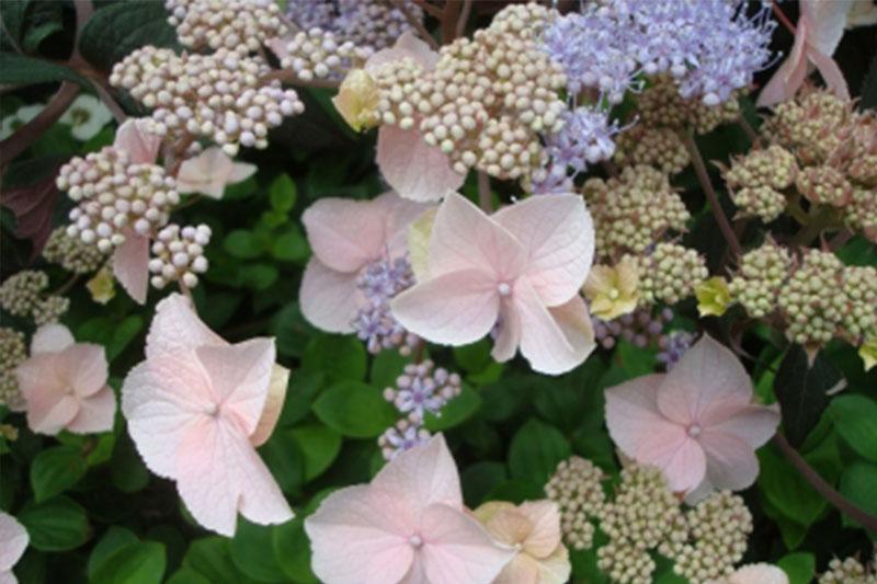 hydrangeas westwood gardens