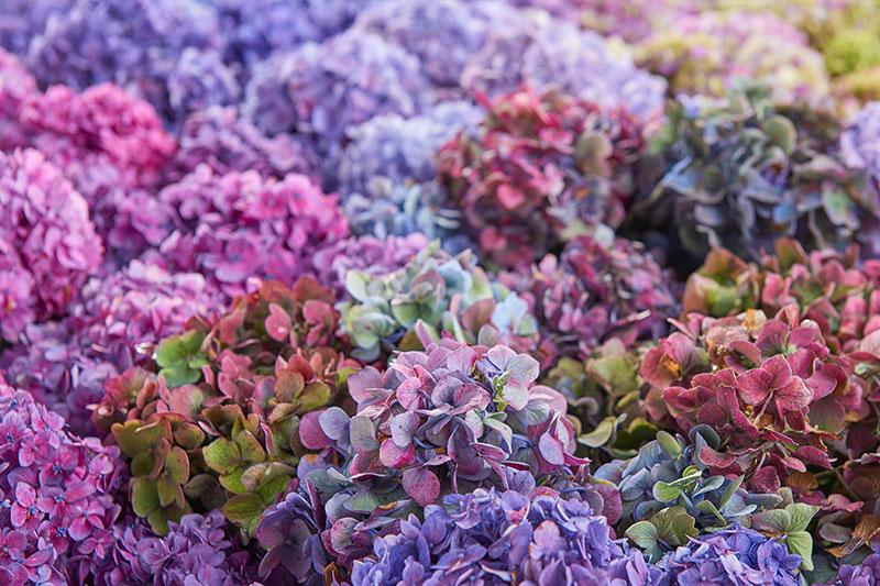 Hydrangea Mophead Bloomstruck