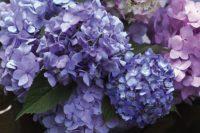 Hydrangea Mophead Endless Summer