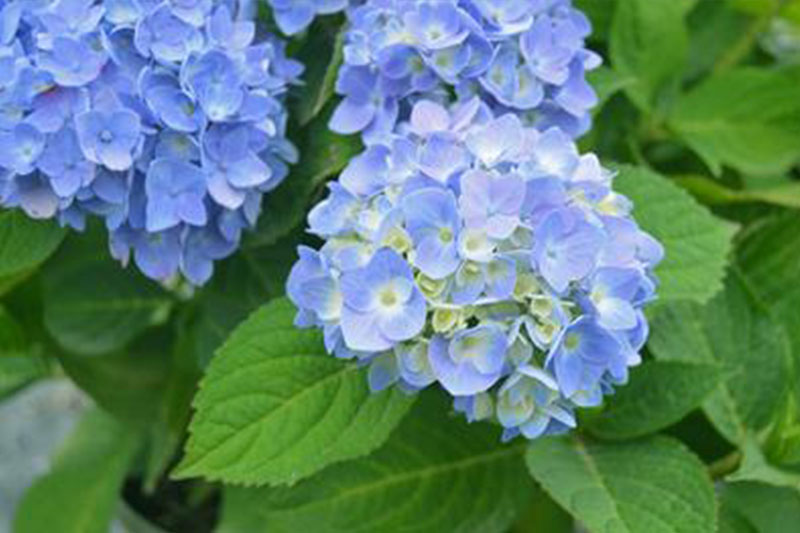 Hydrangea Mophead Nantucket Blue