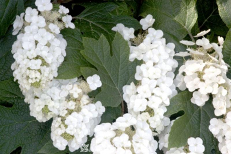 Hydrangea Oakleaf Alice