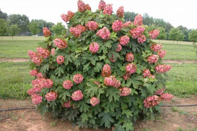 Hydrangea Oakleaf Munchkin