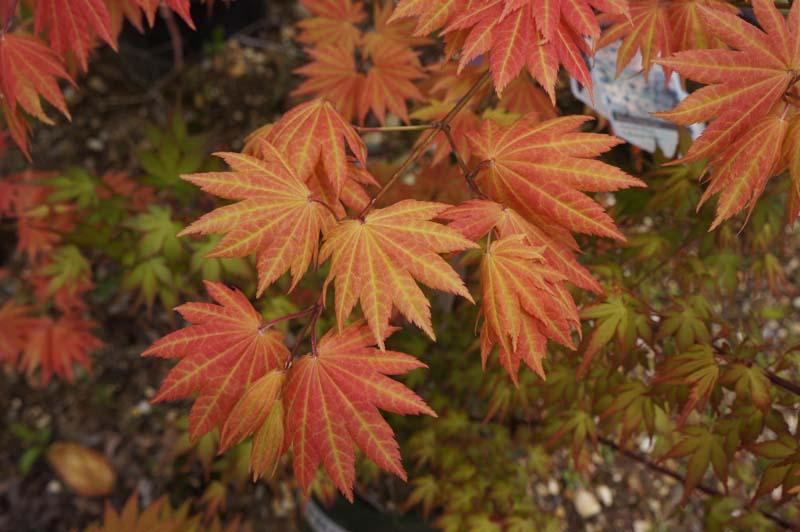 Japanese Maple Autumn Moon