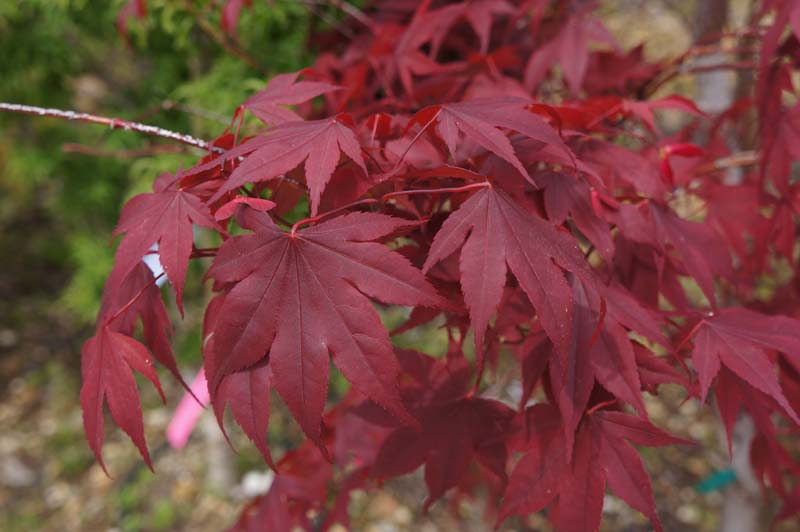 Japanese-Maple-Blood-Good Houseplants Red Japanese on fruit japanese, flowers japanese, mushrooms japanese,