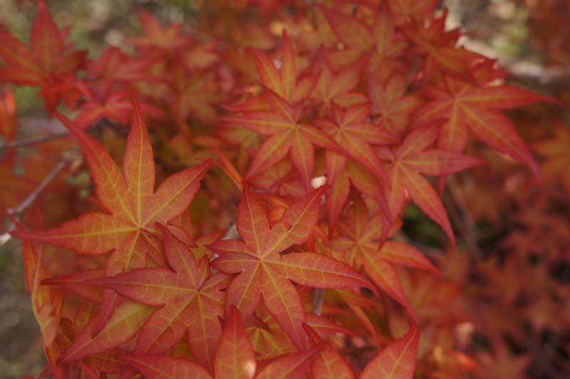 Japanese Maple Carollinum